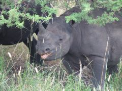 Black Rhino… the hunted…