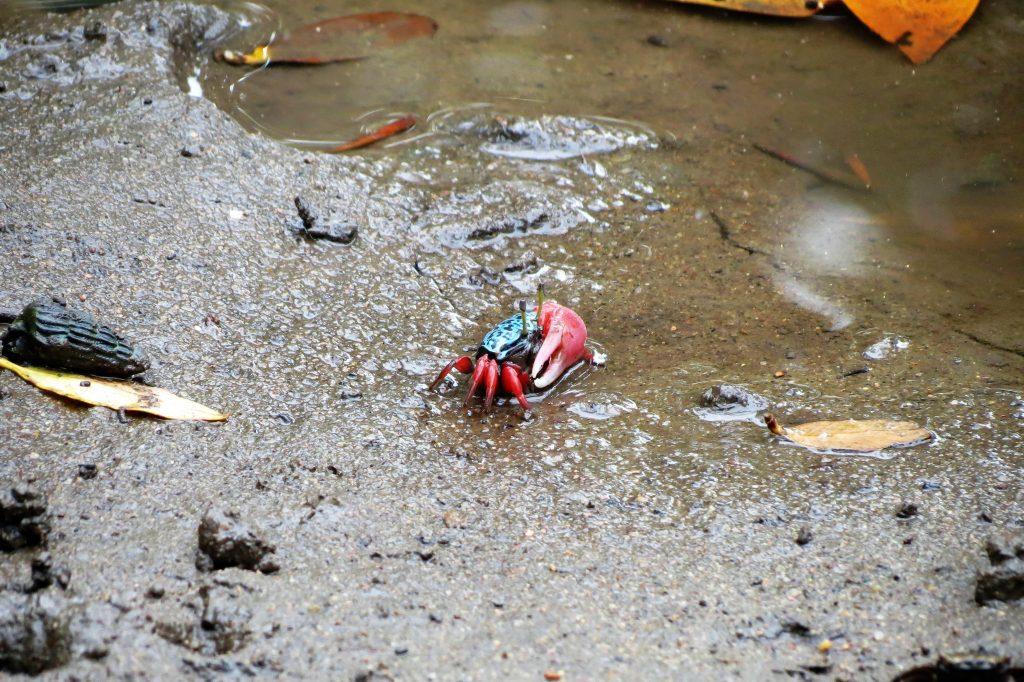 Fiddler crab Mtunzini