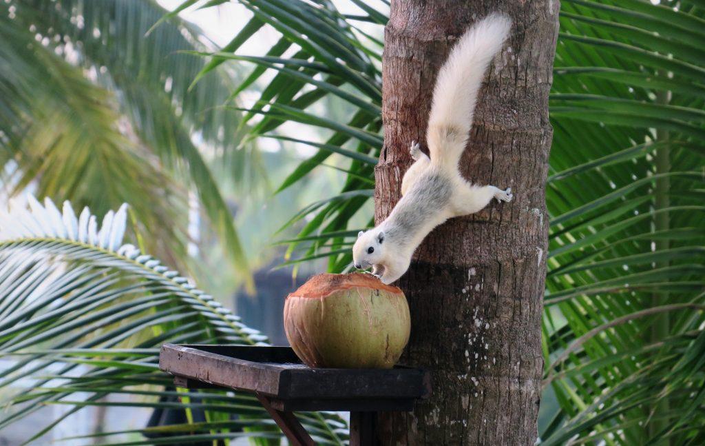 Robinson Club Khao Lak squirrel