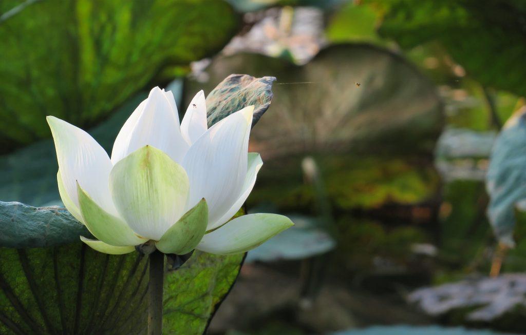 Robinson Club Khao Lak lotus lily